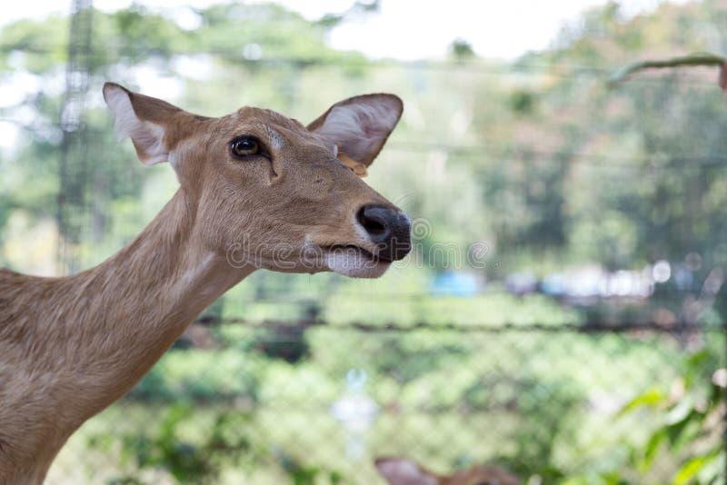 Cervos ou eldii testa-antlered burmese de Rucervus, thamin em Tailândia fotografia de stock