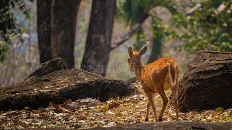 Cervos pequenos no jardim zoológico de Korat, Tailândia foto de stock