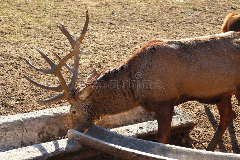 Cervos que comem no wildpark em Bad Mergentheim fotos de stock