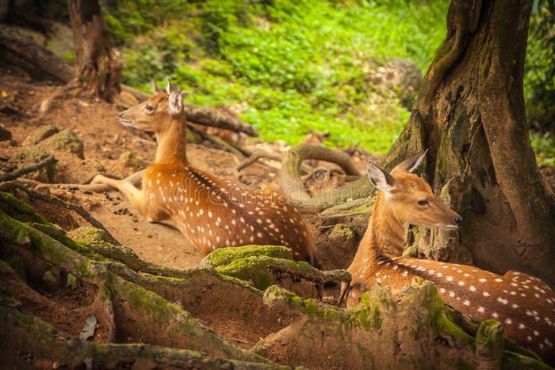 Cervos que descansam na floresta na máscara das árvores imagens de stock royalty free