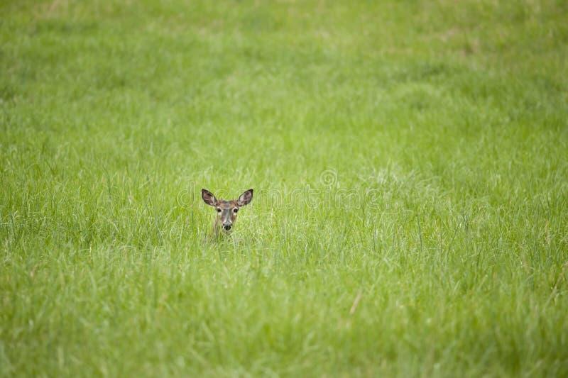 Cervos que descansam na grama fotos de stock
