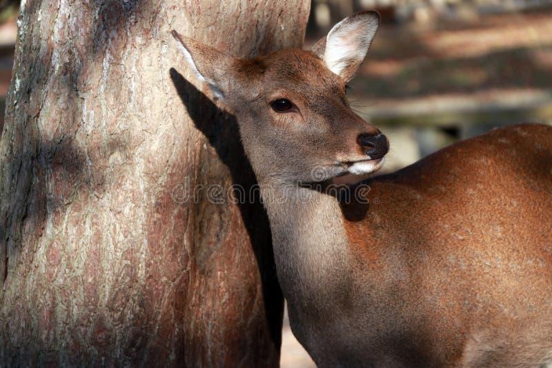 Cervos que estão ao lado do tronco da árvore no parque em Nara, Japão imagens de stock