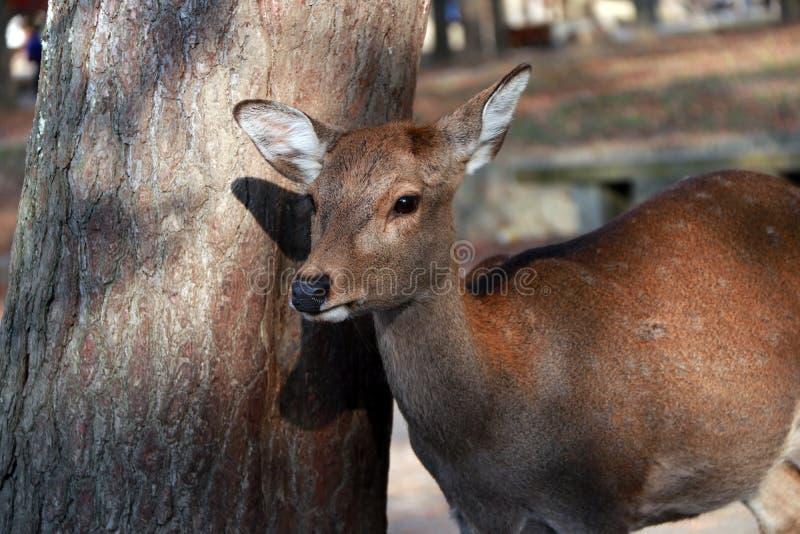 Cervos que estão ao lado do tronco da árvore no parque em Nara, Japão foto de stock royalty free