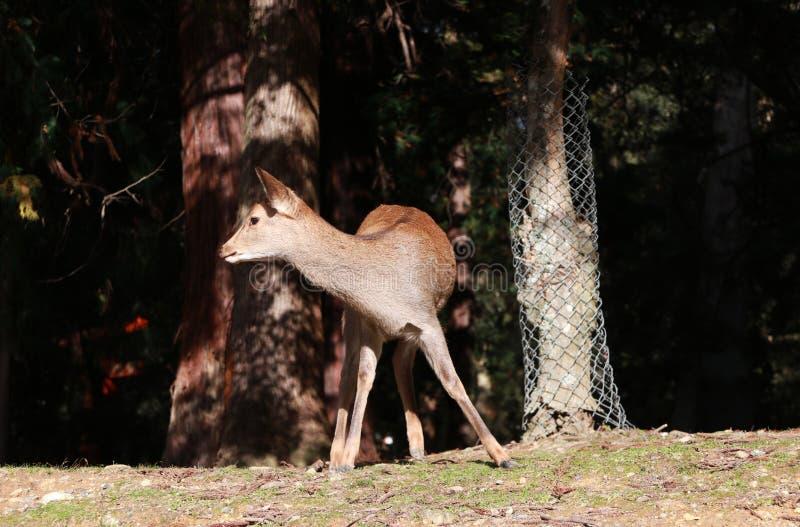 Cervos que estão na luz solar no parque em Nara, Japão foto de stock royalty free