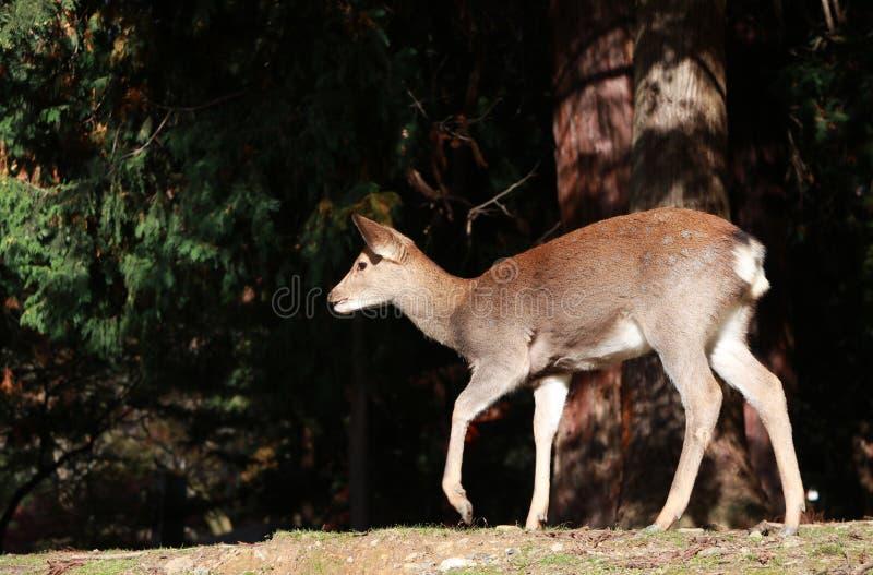 Cervos que estão na luz solar no parque em Nara, Japão foto de stock