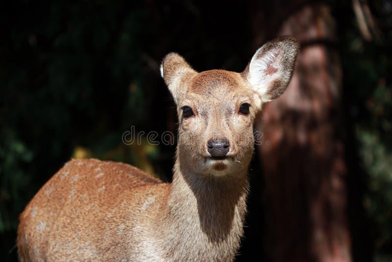 Cervos que estão no parque em Nara, Japão foto de stock