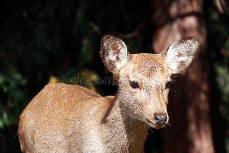 Cervos que estão no parque em Nara, Japão fotografia de stock royalty free