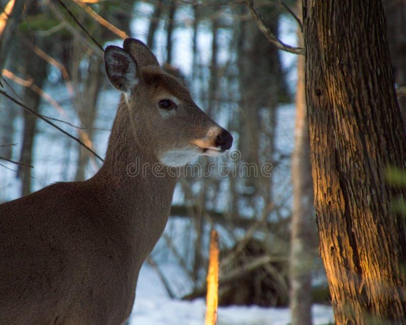Cervos que estão sob árvores no inverno com neve em seu focinho fotografia de stock