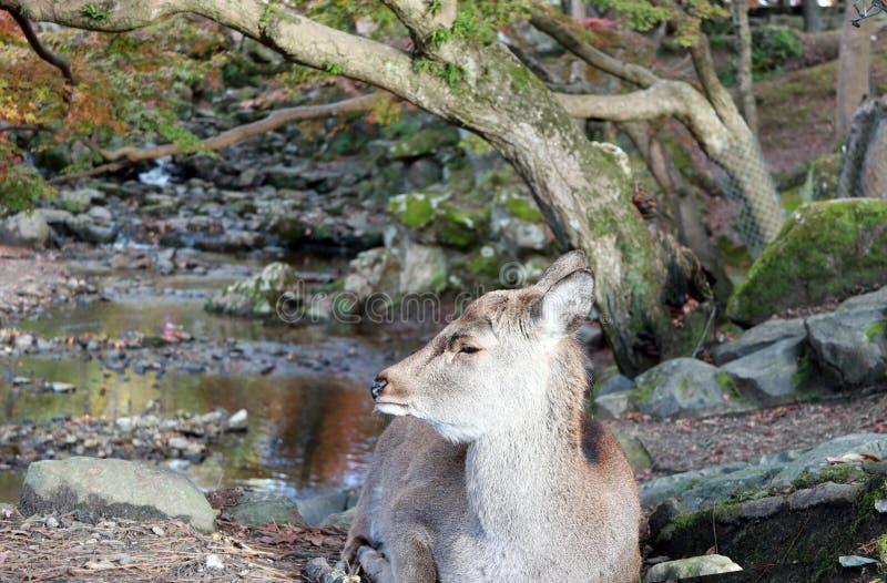 Cervos que estabelecem na árvore do outono do assoalho e do fundo no parque em Nara, Japão imagens de stock