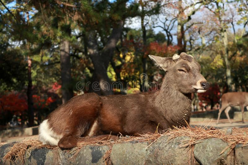 Cervos que estabelecem na árvore do outono do assoalho e do fundo no parque em Nara, Japão imagens de stock royalty free