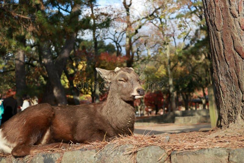 Cervos que estabelecem na árvore do outono do assoalho e do fundo no parque em Nara, Japão imagem de stock