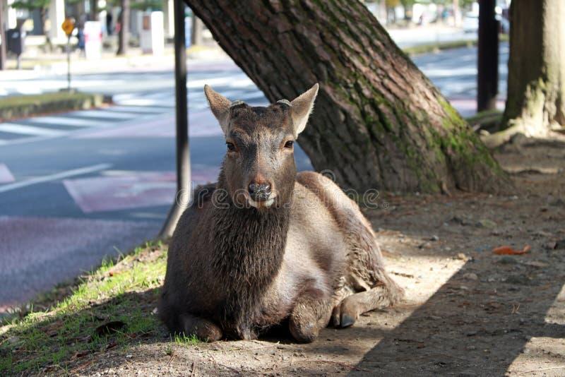 Cervos que estabelecem no assoalho ao lado de uma estrada em Nara, Japão fotografia de stock