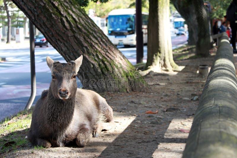 Cervos que estabelecem no assoalho ao lado de uma estrada em Nara, Japão fotos de stock royalty free
