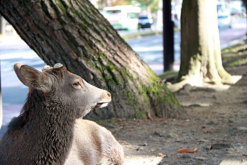 Cervos que estabelecem no assoalho ao lado de uma estrada em Nara, Japão fotografia de stock royalty free