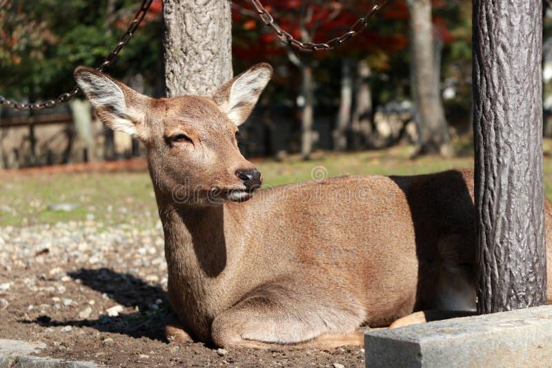 Cervos que estabelecem no assoalho da grama no parque em Nara, Japão foto de stock royalty free
