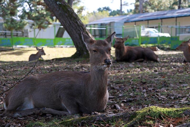 Cervos que estabelecem no assoalho da grama no parque em Nara, Japão fotos de stock
