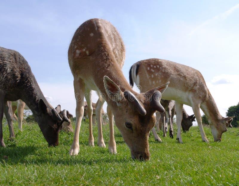 Cervos que pastam fotos de stock royalty free