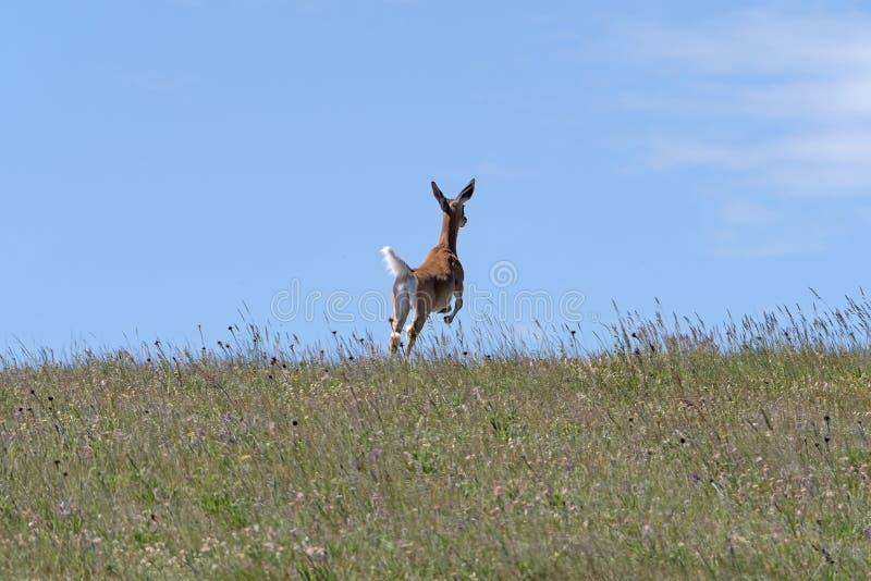 Cervos que pulam através da pradaria imagens de stock