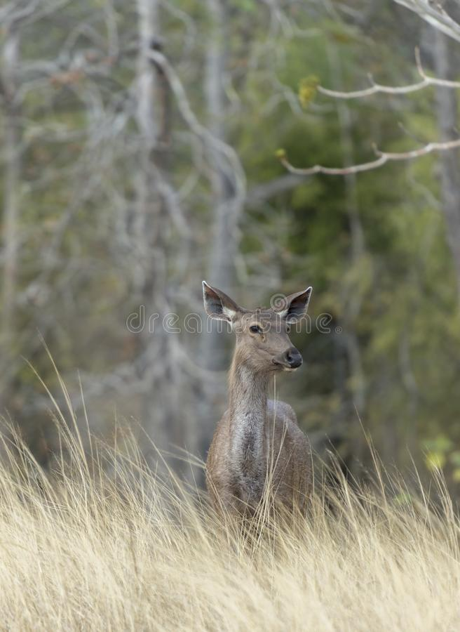 Cervos sanbar alertas que olham para fora para predadores fotografia de stock