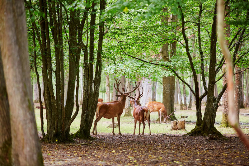 Cervos selvagens em pinho misturado e na floresta decíduo fotos de stock royalty free