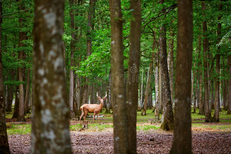 Cervos selvagens em pinho misturado e na floresta decíduo imagens de stock
