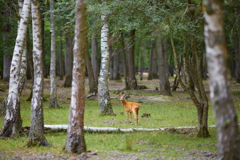 Cervos selvagens em pinho misturado e na floresta decíduo foto de stock royalty free