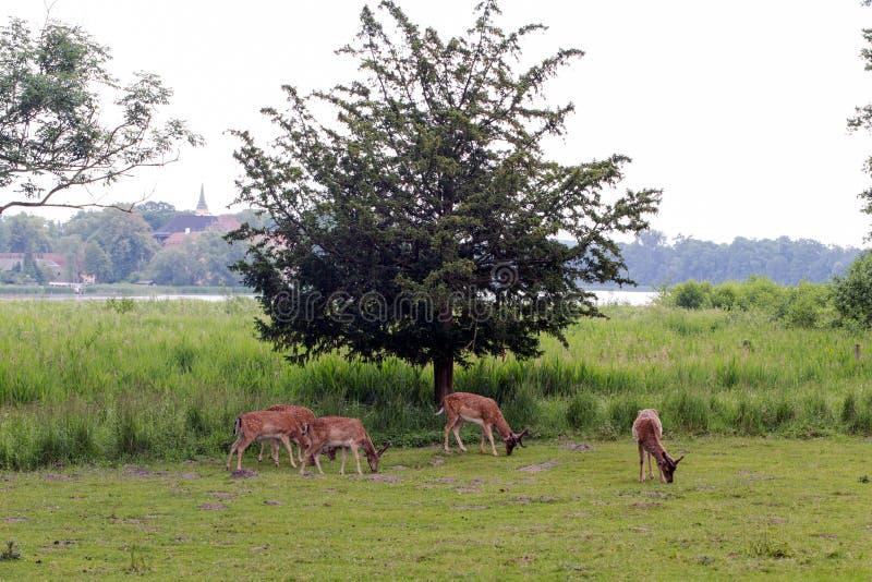 Cervos selvagens na frente de uma árvore imagens de stock royalty free