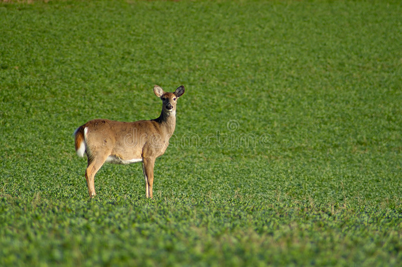Cervos solitários foto de stock royalty free