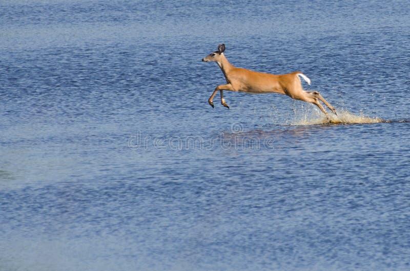 Cervos Startled que pulam com o Wate fotografia de stock royalty free