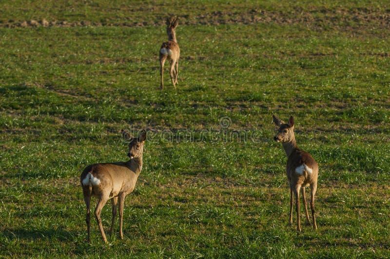 Cervos urbanos fotografia de stock royalty free
