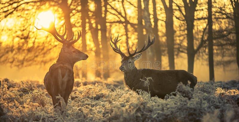 Cervos vermelhos fotos de stock