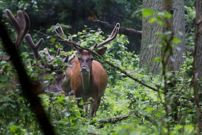 Cervos vermelhos com Antlers O veludo cobre um chifre crescente fotografia de stock royalty free