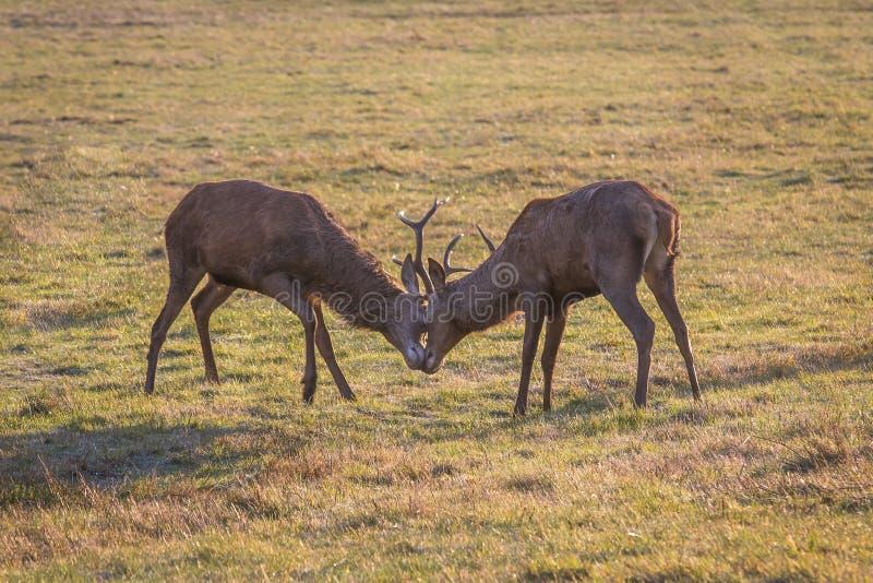 Cervos vermelhos na natureza durante o outono Dois cervos masculinos que lutam no outono fotos de stock