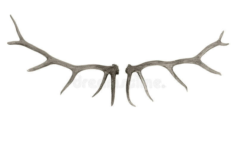 Cervus antler royalty free stock photography