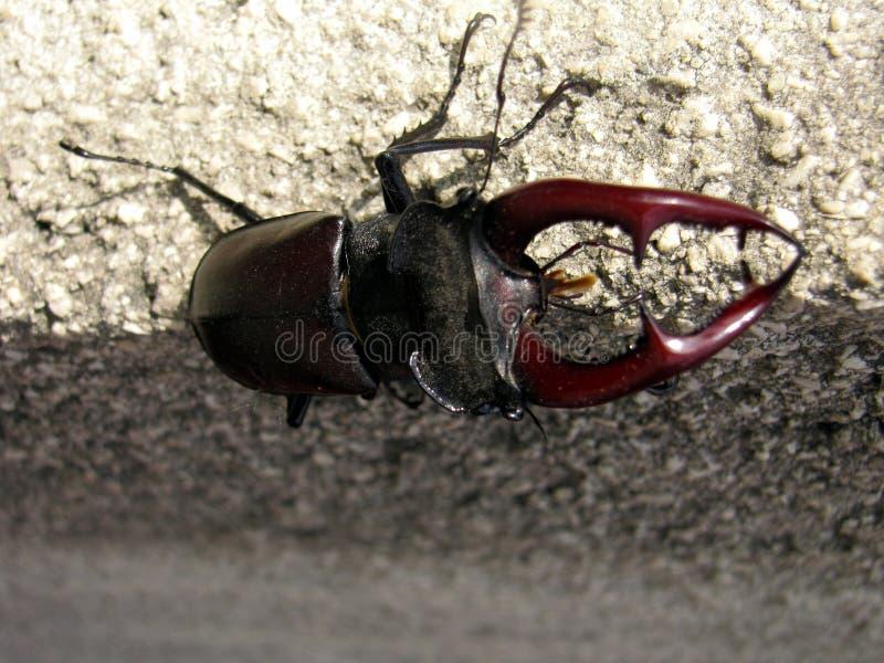 Cervus de Lucanus - besouro de veado imagens de stock