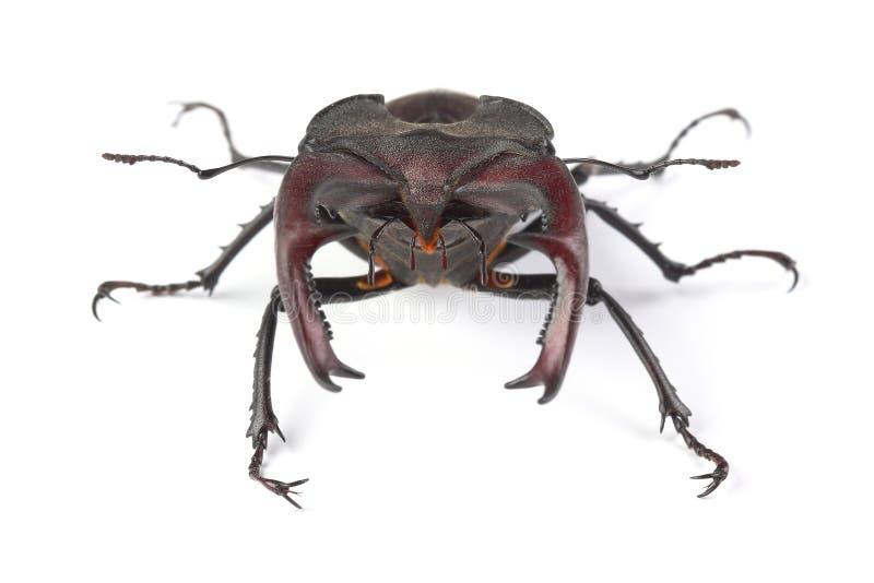 Cervus de Lucanus del escarabajo de macho aislado en blanco fotos de archivo libres de regalías