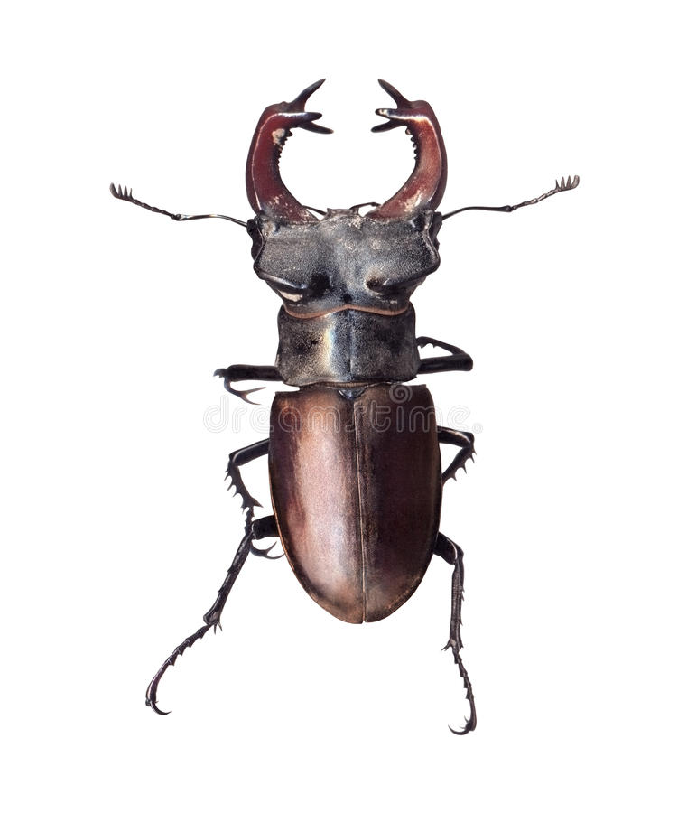 Cervus de Lucanus del escarabajo de macho aislado en el fondo blanco imagenes de archivo