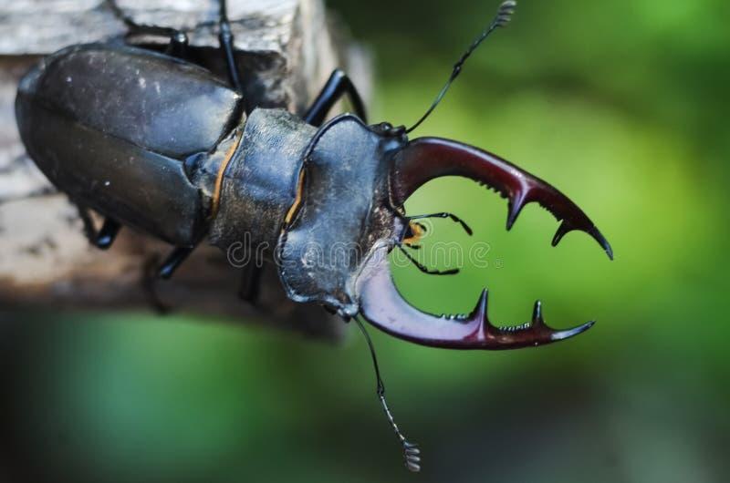 Cervus de Lucanus del escarabajo de macho en la madera Opini?n macra del insecto raro rojo de la lista, campo de la profundidad b foto de archivo
