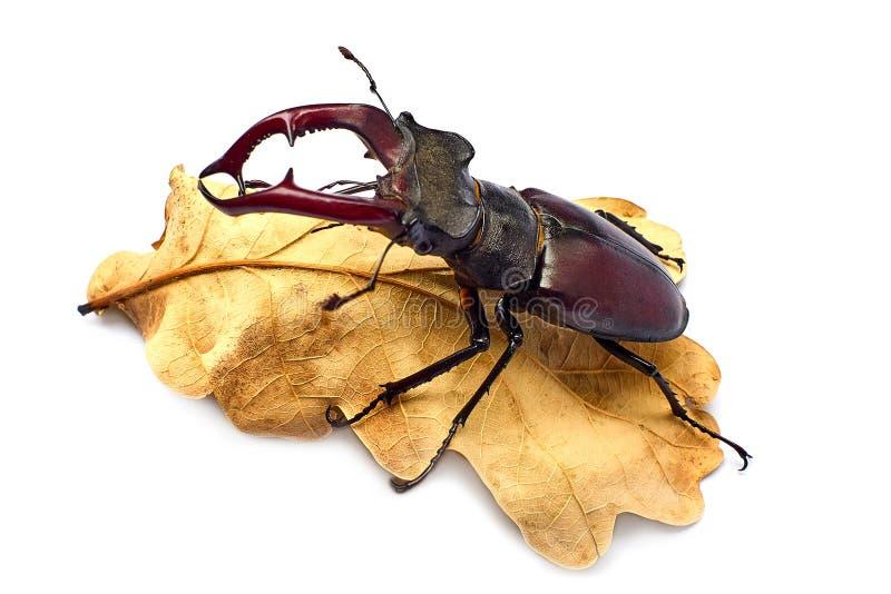 Cervus de Lucanus del escarabajo de macho en una hoja secada del roble Es el escarabajo m?s grande que vive en Europa Concepto ec fotografía de archivo libre de regalías