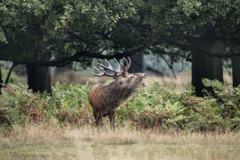 Cervus elaphus potente maestoso del maschio dei cervi nobili in landsca della foresta immagine stock