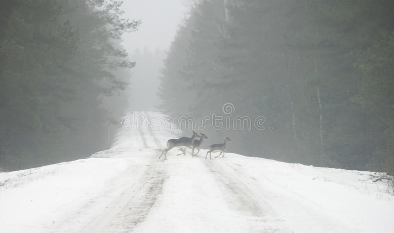 Cervus elaphus running. Red deer females with youngster on snowy road royalty free stock photo