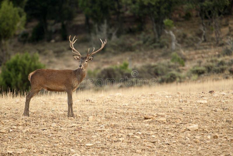 cervus jelenia elaphus czerwie? obraz stock
