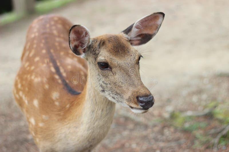Cervus nipón de los ciervos en el parque de Nara, Japón fotografía de archivo