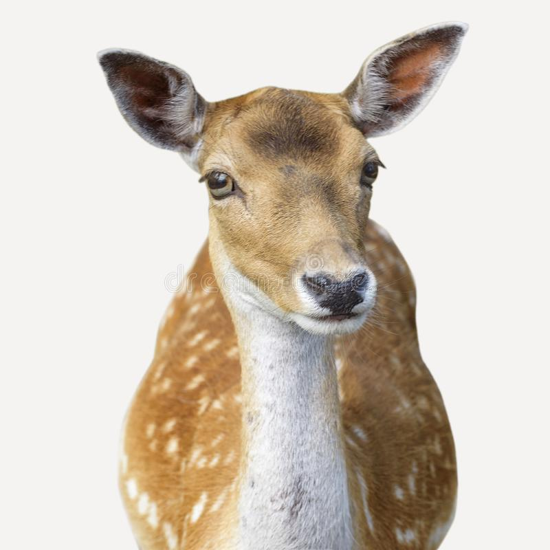 Cervus Nippon de cerfs communs de Sika également connu sous le nom de cerfs communs repérés ou cerfs communs japonais D'isolement photo libre de droits