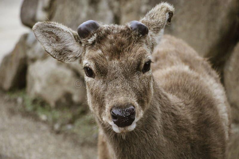 Cervus Nippon de cerfs communs de Sika en Nara Park, Nara, île de Honshu, Japon photographie stock libre de droits