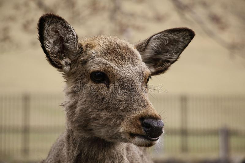Cervus Nippon de cerfs communs de Sika en Nara Park, Nara, ?le de Honshu, Japon image libre de droits