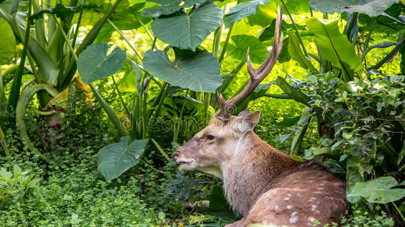 A cervus nippon, Sika Deer, resting lying among the trees and forest plants. An adult male cervus nippon resting lying among the trees and forest plants at a day stock image