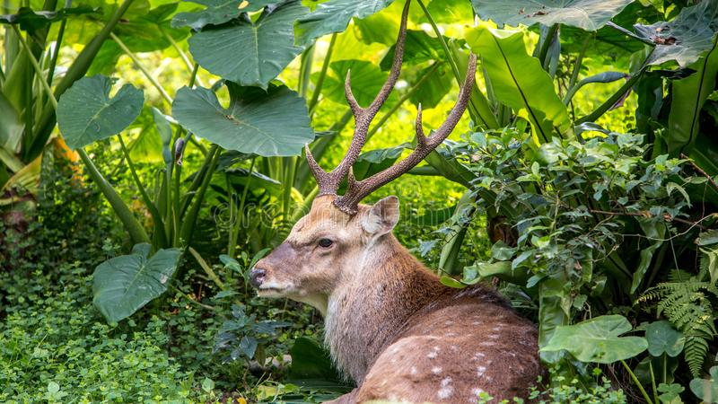 A cervus nippon, Sika Deer, resting lying among the trees and forest plants. An adult male cervus nippon resting lying among the trees and forest plants at a day royalty free stock photography