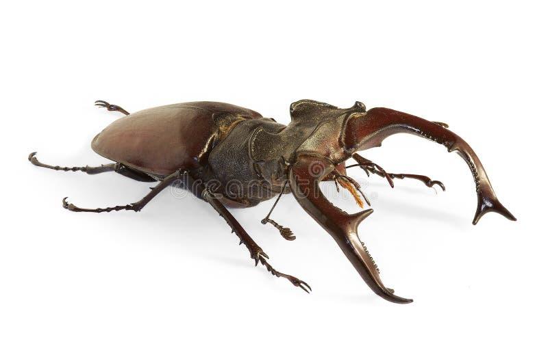 Cervus van de keverLucanus van het mannetje stock foto's