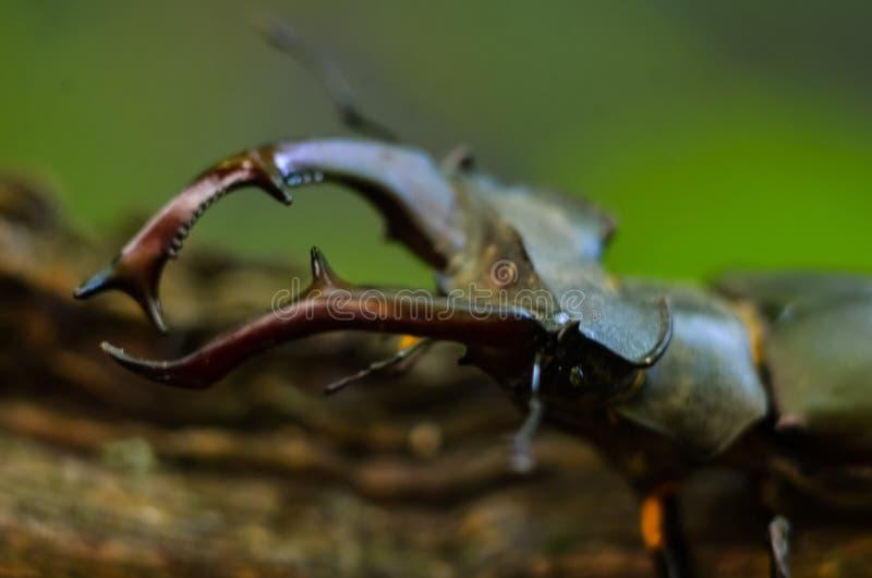 Cervus van Lucanus van de mannetjeskever op hout De rode macromening van het Lijst zeldzame insect, ondiep dieptegebied Selectiev stock afbeeldingen